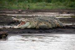 尼罗鳄鱼 免版税库存图片