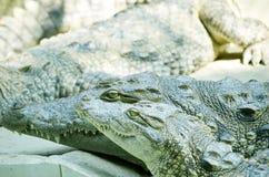 尼罗鳄鱼 免版税图库摄影
