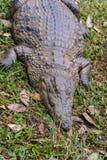 尼罗鳄鱼 库存照片