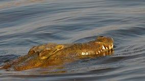 尼罗鳄鱼 图库摄影