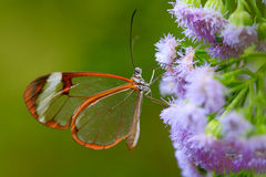 尼罗Glasswing, Greta nero,透明玻璃翼蝴蝶,从热带森林,伯利兹,休息的场面特写镜头在绿色叶子的 免版税库存图片