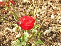 尽管他们的刺的玫瑰是涂香油环境的精美花 免版税库存图片