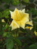 尽管他们的刺的玫瑰是涂香油环境的精美花 库存图片