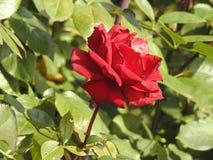 尽管他们的刺的玫瑰是涂香油环境的精美花 图库摄影