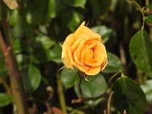 尽管他们的刺的玫瑰是涂香油环境的精美花 免版税图库摄影