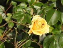 尽管他们的刺的玫瑰是涂香油环境的精美花 免版税库存照片