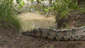 尾巴特写镜头 |奥里诺科河鳄鱼,哥伦比亚 股票视频