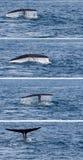 尾巴驼背鲸比目鱼下潜 库存图片