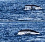 尾巴鲸鱼在海洋 免版税库存照片