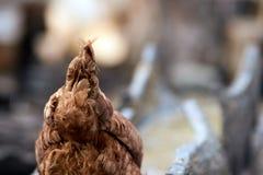 尾巴鸡 繁殖的鸟 木锯木屑 免版税库存图片