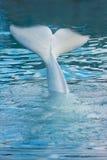 尾标鲸鱼白色 免版税图库摄影