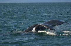 尾标鲸鱼 库存图片
