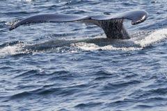 尾标鲸鱼 免版税库存照片