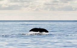 尾标鲸鱼 免版税图库摄影