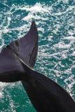 尾标 yong宽吻海豚在红海游泳 免版税库存照片
