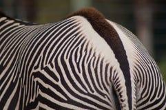 尾端和条纹斑马特写镜头  免版税图库摄影