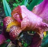 尾花在植物园里 免版税库存图片