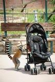 尾部有环纹好奇的狐猴 免版税库存图片