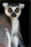 尾部有环纹母的狐猴 免版税库存照片
