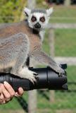 尾部有环纹照相机的狐猴 免版税库存图片