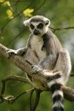 尾部有环纹狐猴的猴子 库存照片