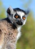 尾部有环纹狐猴的纵向 免版税库存照片