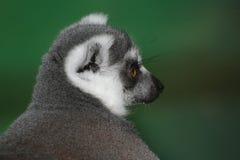 尾部有环纹狐猴的纵向 免版税库存图片