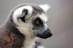 尾部有环纹狐猴的配置文件 免版税库存照片