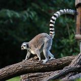 尾部有环纹的狐猴 库存照片