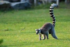 尾部有环纹的狐猴 免版税库存图片