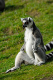 尾部有环纹的狐猴 免版税图库摄影