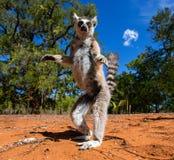 尾部有环纹的狐猴 马达加斯加 免版税库存照片