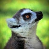 尾部有环纹的狐猴 库存图片