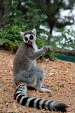 尾部有环纹的Lemurï ¼›狐猴catta 免版税图库摄影