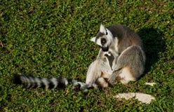 尾部有环纹草坪的狐猴 免版税库存图片