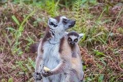 尾部有环纹系列的狐猴 免版税库存图片