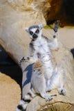尾部有环纹catta的狐猴 免版税库存照片