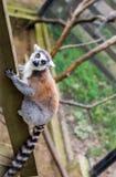 尾部有环纹catta的狐猴 狐猴能在动物园里被找到 库存图片