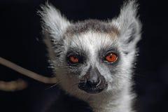尾部有环纹catta的狐猴 免版税库存图片