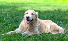 尾随一只金毛猎犬 免版税图库摄影