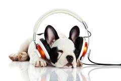 尾随与在白色背景隔绝的耳机的法国牛头犬 免版税库存图片
