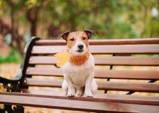 尾随举行在嘴下落的秋天枫叶坐长凳 免版税库存图片