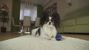 尾随使用与在一个地毯的一个球的Papillon在客厅股票英尺长度录影 股票录像