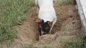 尾随品种开掘孔的杰克罗素狗 股票视频