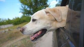 尾随品种拉布拉多或调查车窗的金毛猎犬 家畜伸出了从运动的汽车的头 股票录像