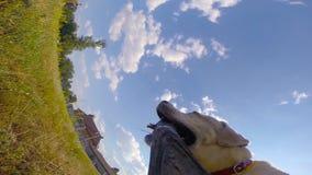 尾随品种拉布拉多或跑用在室外的嘴的棍子的金毛猎犬在领域 所有者和他的家畜 股票视频