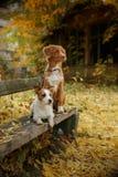 尾随品种新斯科舍鸭子敲的猎犬和杰克罗素狗 库存照片