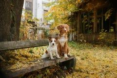 尾随品种新斯科舍鸭子敲的猎犬和杰克罗素狗 免版税库存照片