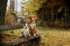 尾随品种新斯科舍鸭子敲的猎犬和杰克罗素狗 库存图片