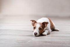 尾随品种杰克罗素狗在演播室颜色背景的画象狗 免版税库存图片